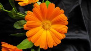 calendula-picture-flower-1199959_960_720