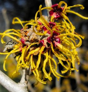 witch-hazel-from-pixabay
