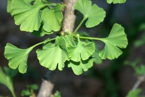 ginkgo-biloba-tree-close