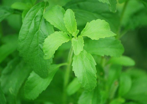 stevia-from-pixabay